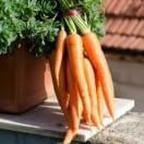 carottes-nouvelles