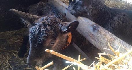 Les fromages de chèvre sont de retour depuis le 14 mars